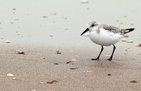 red-knot-715476__180